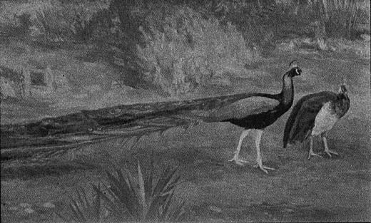 三上知治「孔雀」1931.jpg
