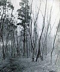 小金井桜橋1955頃.jpg