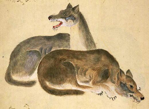 田中芳男「オオカミ」1876.jpg