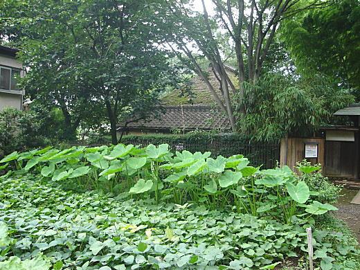 畑サトイモ.JPG