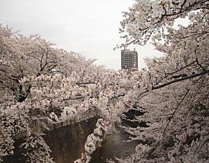 神田川の桜.jpg