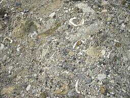 西小磯化石.JPG