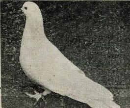鳩カルノー種.jpg