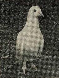 鳩キング種.jpg