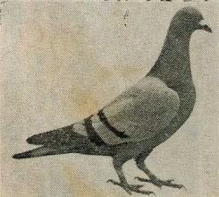 鳩シルバーキング種.jpg