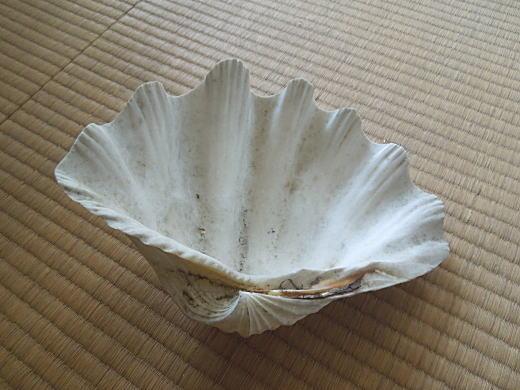 シャコガイ貝殻.jpg