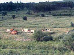 ロシアの放牧.jpg