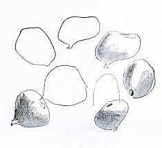 曾宮一念「いちぢくの習作」193612.jpg