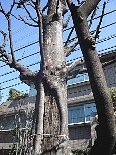 近衛町双子ケヤキ2.JPG