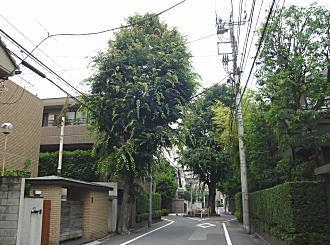 近衛町双子ケヤキ3.JPG